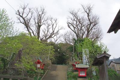福山町に行ったら見ておきたい鹿児島県指定文化財にもなっている夫婦イチョウ